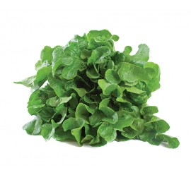 lechuga hoja de roble verde